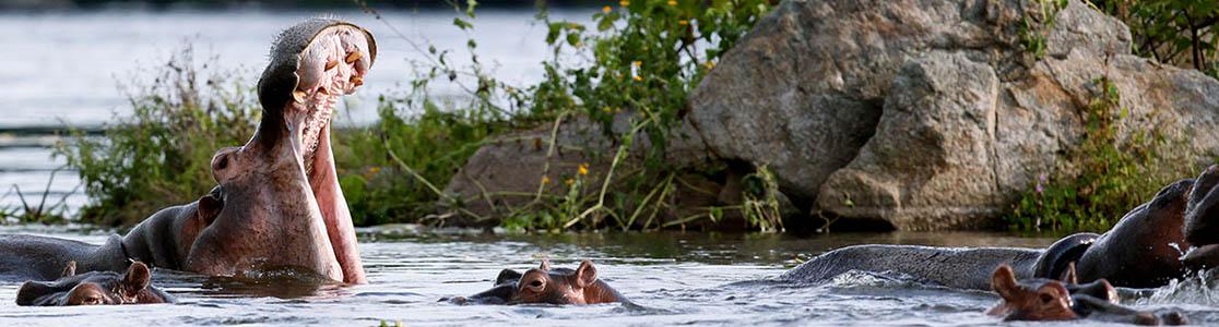 Uganda Hippo