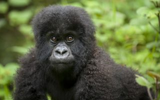 5 Days Gorilla Tour in Congo