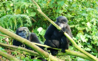 4 Days Rwanda Gorillas & Golden Monkey Trekking Safari