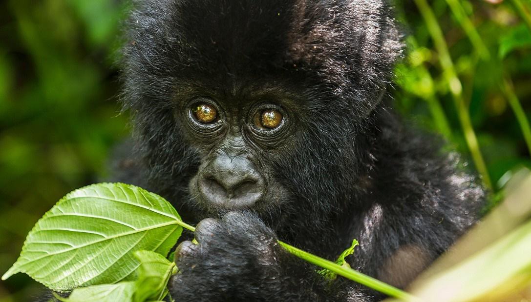 5 Days Gorilla Tour in Congo