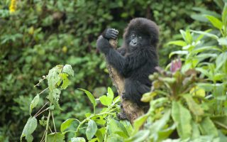 4 Days Congo Gorilla Safari