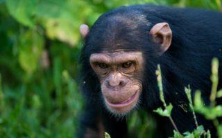 3 Days Ngamba Chimpanzee Tracking