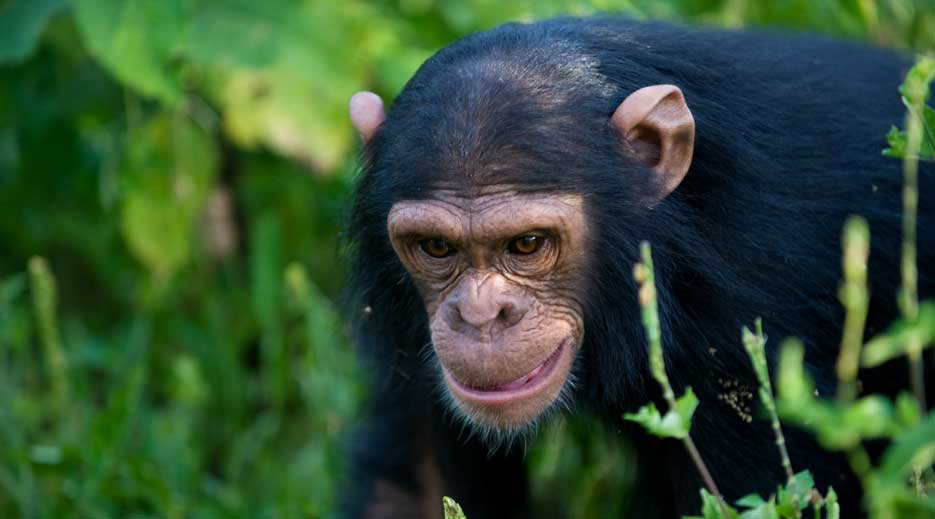 3 Days Ngamba Chimpanzee Tracking