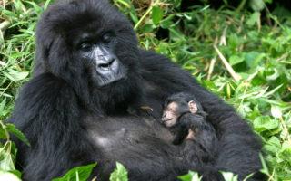 3 Days Uganda Gorilla Safari from Kigali