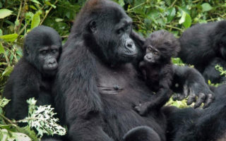 4 Days Bwindi Double Gorilla Tracking Safari