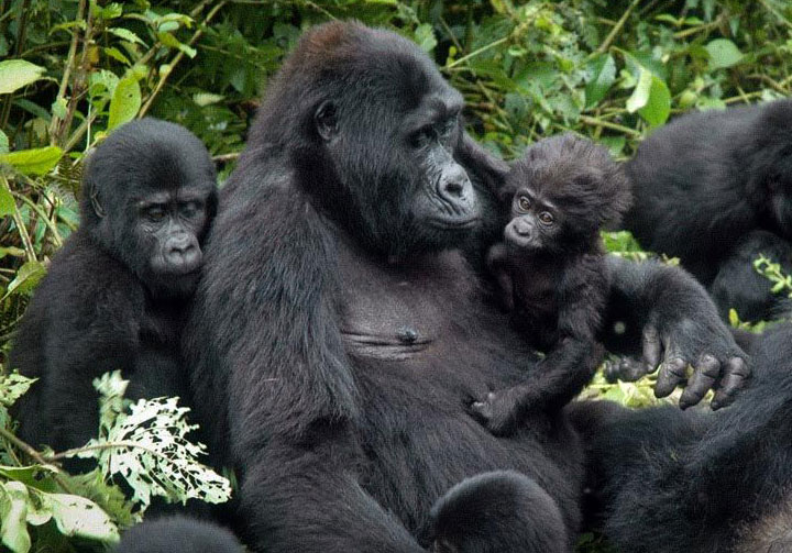 4 Days Bwindi Double Gorilla Tracking Safari